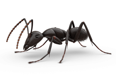 Ant Png PNG Images