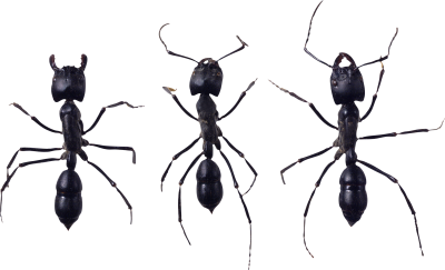 Three Adjacent Black Ant Sex Free PNG Images