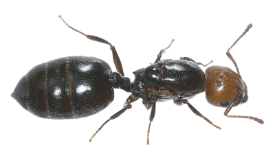 Greater Yellow Headed Ant Transparent PNG Images