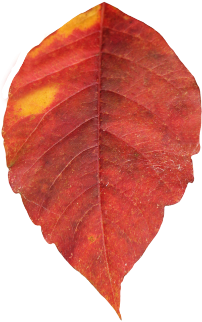Autumn Leaves Free PNG PNG Images