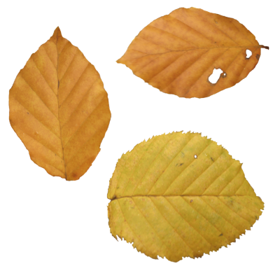 Autumn Leaves Simple PNG Images