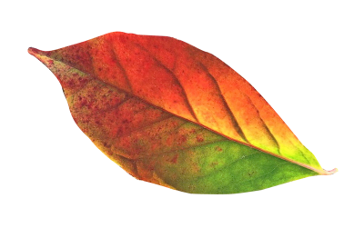 Autumn Leaf Png Transparent Picture