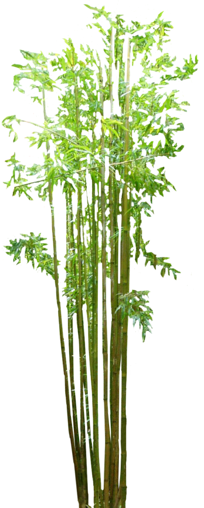 Long Bamboo Tree PNG Photo, Plant, Foliage, Tree Roots