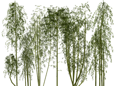 Ivy Bamboo Tree PNG, Sprouting, Cane, Hot Country, Calamus PNG Images