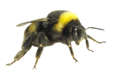 Flying insects, Little Honey Bee Free Download PNG Images