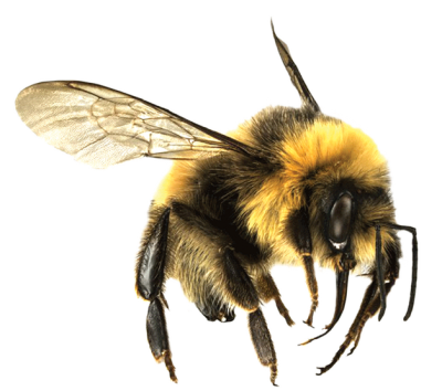 Furry Little Honey Bee Transparent Hd Free Download PNG Images