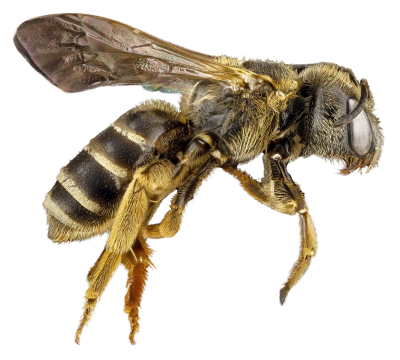Pest, insect, Honey Bee Transparent Hd Background PNG Images