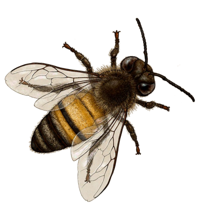 Sideways Bee Png Background Download PNG Images