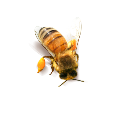 Orange Bee Image Hd Background PNG Images