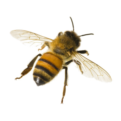 Back Turned Bee Hd Picture PNG Images