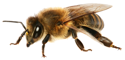 New Gold Bee Background Transparent PNG Images