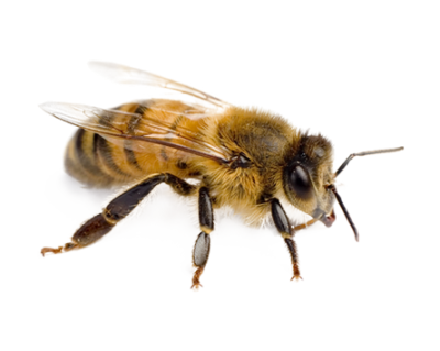Near Gold Bee Hd Transparent Free Download PNG Images