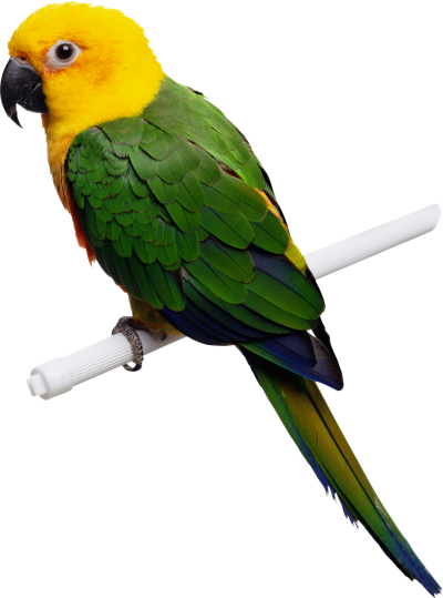 Yellow Bird Parrot Transparent