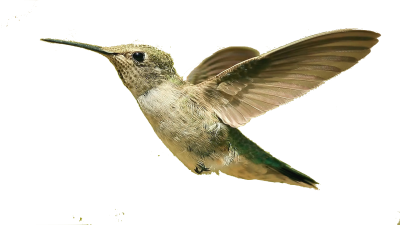 Humming Bird image HD, Flies, Species, Cultivars, Nature, Fly PNG Images