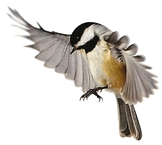 Bird Picture With Open Wing PNG, Beak, Wing, Animals PNG Images