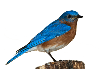 Cartoon Blue Sparrow Picture, illustrations, Types, Naturalness PNG Images