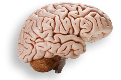 Real Brain Clipart PNG Images