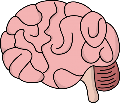 Brain Picture PNG Images