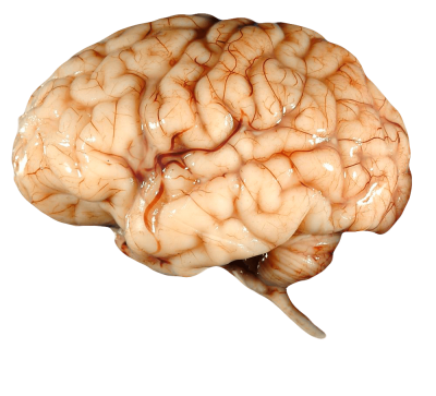 Real Brain PNG Icon PNG Images