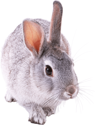 Gray Rabbit Walking Hd Transparent PNG Images