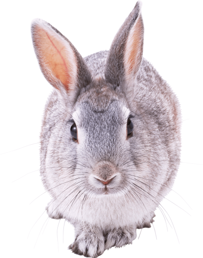 Gray Rabbit Walking Transparent Png PNG Images