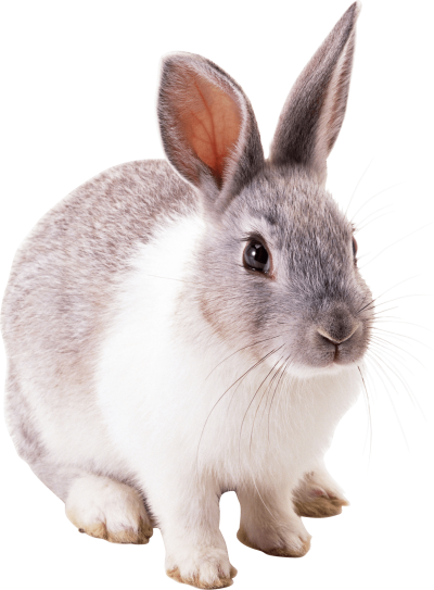 Gray White Bunny image Png PNG Images
