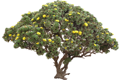 Flora High Quality Bush Tree Daisy Png Transparent PNG Images