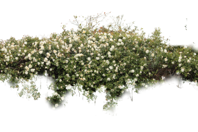 White Flowering Bush Free Png PNG Images