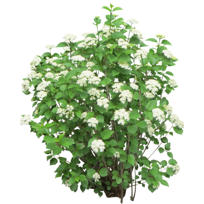 White Flowers With Green Bush Transparent Background PNG Images