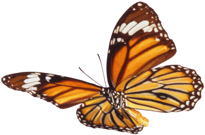 PNG White Patterned Butterfly, invertebrate, Animal, insect, Flying PNG Images