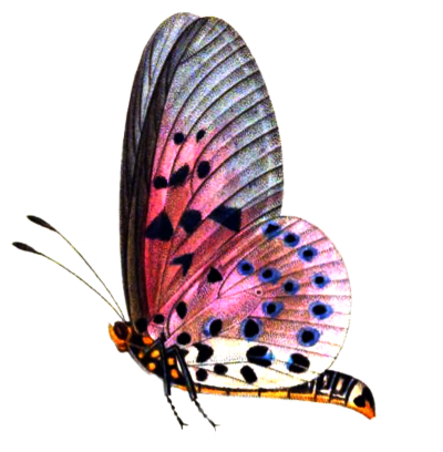 Patterned Pink HD Butterfly Png Creation, Varieties, Difference