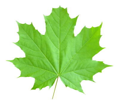 Green Maple Leaf  Transparent Pictures