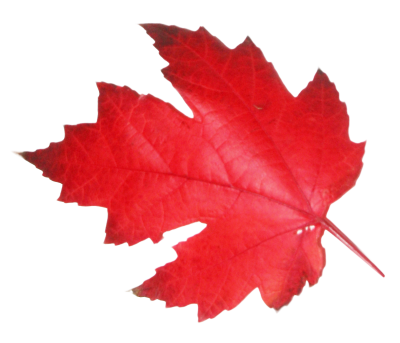 Natural Maple Leaf Transparent Images