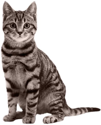 Cat Free Download PNG Images