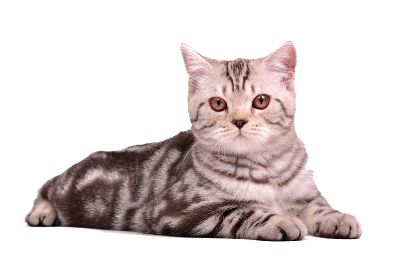 Cat Free Download Transparent PNG Images