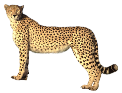 Cheetah Cut Out PNG Images