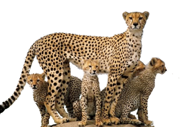 Cheetah Family PNG PNG Images