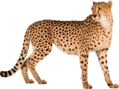 Cheetah Wonderful Picture Images PNG Images