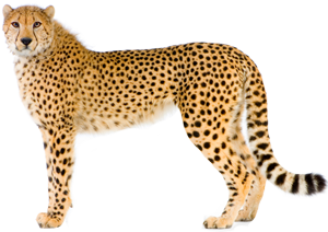 Cheetah Clipart Hd PNG Images