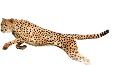 Cheetah Best Pic PNG Images