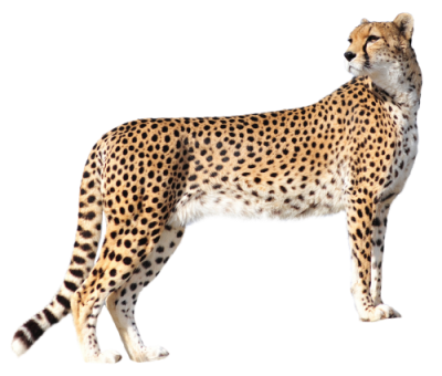 Cheetah Amazing Image Download PNG Images
