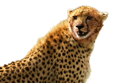 Cheetah Head Png PNG Images