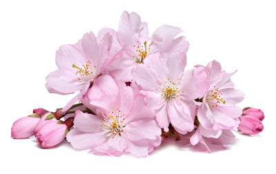 Cherry Blossom Cut Out PNG Images