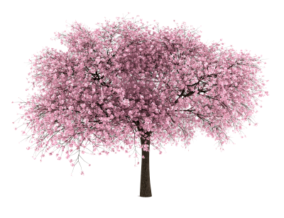Cherry Blossom Png PNG Images