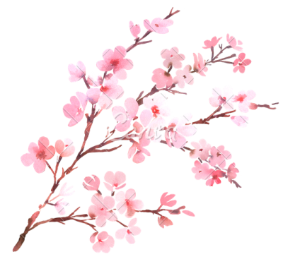 Cherry Blossom Clipart PNG Photos PNG Images