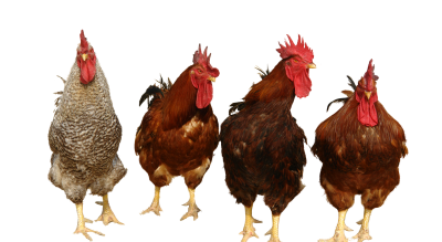 Chickens Free PNG PNG Images