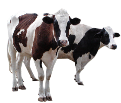 Cattle, Animal, Milk, White And Black Cow Transparent Png Free Download