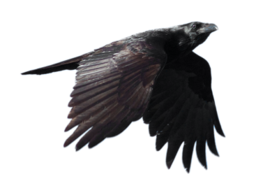 Crow HD Image PNG Images