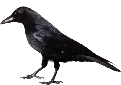 Crow Wonderful Picture Images PNG Images