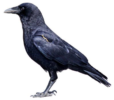 Crow Transparent Image PNG Images
